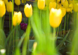 Photo of yellow tulips.